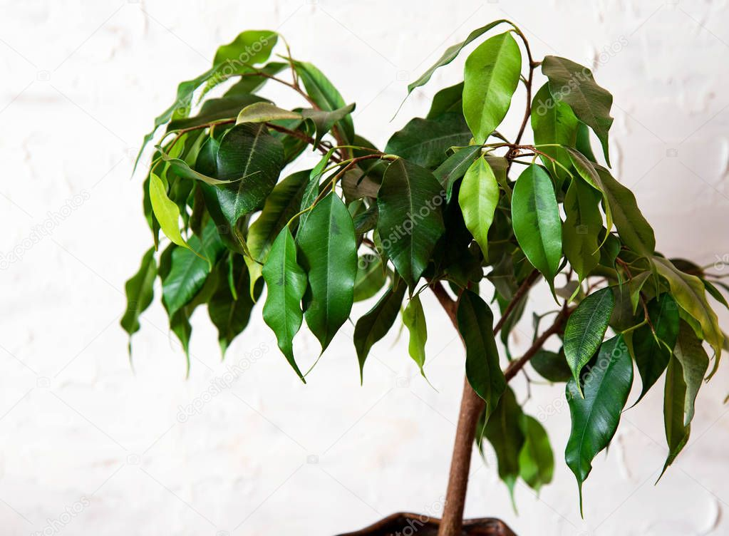 Ficus benjamin on a white background. House plants