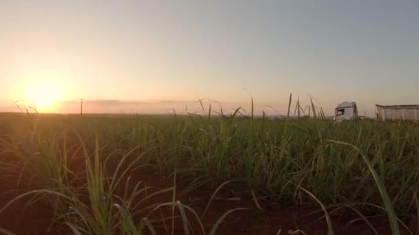 cukornád ültetvények naplemente