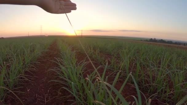 Cukornád ültetvények ujj kézzel naplemente