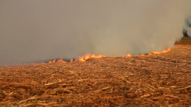 Cukornád a tűz ültetvény