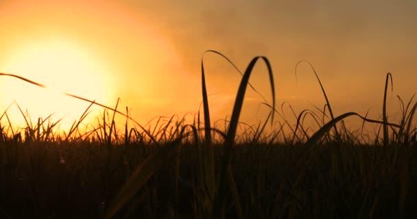 Sziluettje egy agronómus fogalma mezőgazdasági vállalkozások cukornád ültetvény