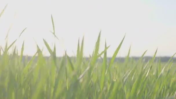 zelené louce mladé pšenice. mladá pšenice rostlin, stedikam střelbu. Pozadí