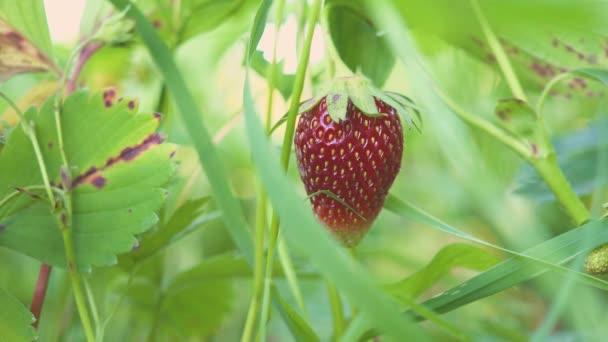 hand takes ripe strawberry in the garden 4k macro