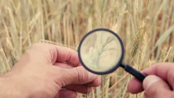 mezőgazdasági termelő vagy a botanikusok kézi nagyítás üveg eszköz Vértes ellenőrzés vizsgálata búza spikelets rozs mezőgazdasági területen vizsgáljuk meg. Tenyészállatok gabona
