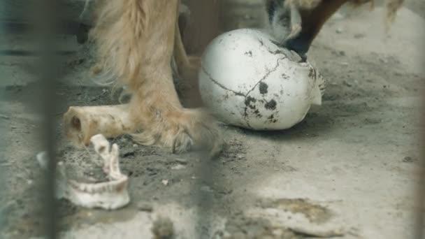 pes žere umělé lebky, podobně jako lidské