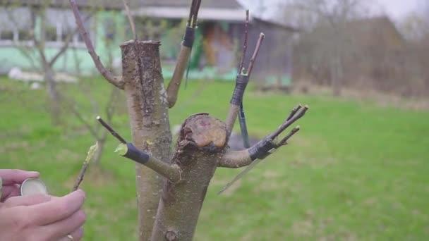 Apple tree renovace štěpování