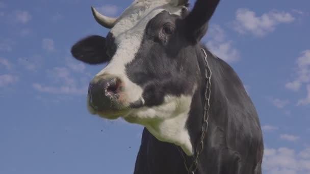 Strakaté černobílé krávy pásl a krmil na poli se žlutým rozkvetlé pampelišky, idylické letní scéna