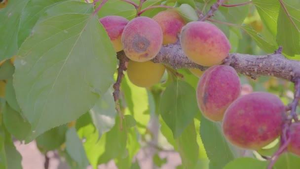 Mans Hand Picking Ripe Apricot Fruit On Apricot Tree. Good Apricot Harvest