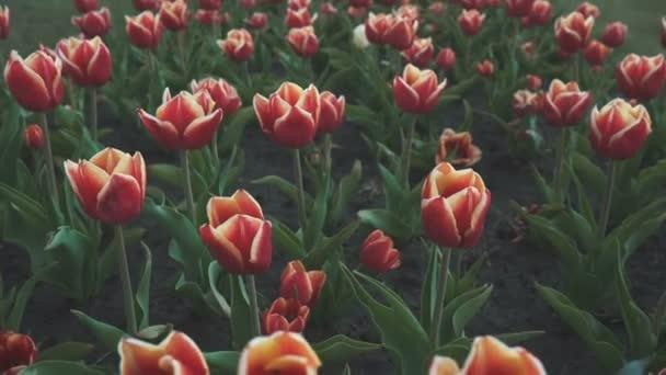 Krásné červené tulipány, horní pohled