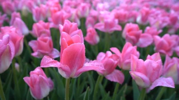 Elképesztően szép rózsaszín tulipán, vízcseppekkel a szirmokon.