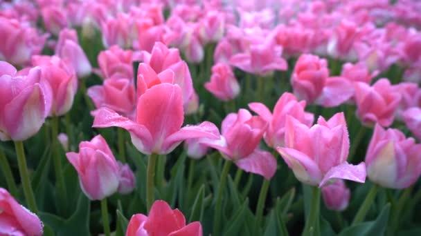 Úžasně krásné růžové tulipány s kapkami vody na okvětní lístky