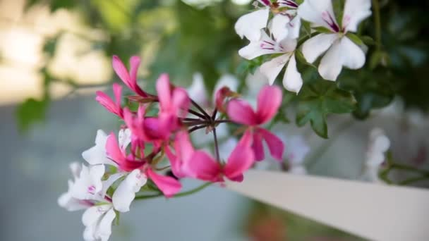 Okno s pelargónie květiny