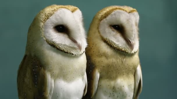 Two beautiful barn owls.