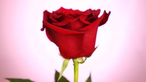 Rudá růže se otočena přes růžové pozadí. Symbol lásky. Návrh Valentýnské karty.