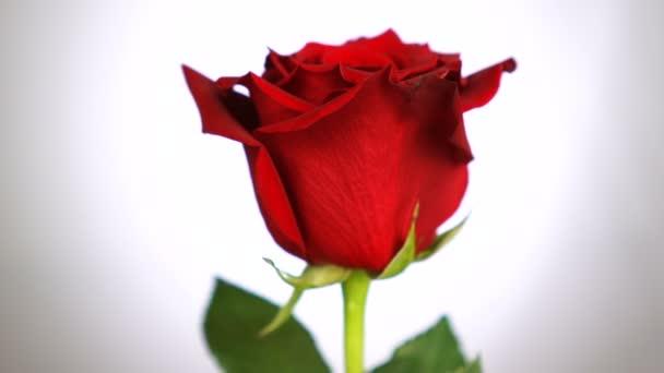 Rudá růže se otočena přes bílé pozadí. Symbol lásky. Návrh Valentýnské karty.