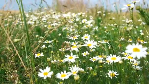 Flowering of daisies. Oxeye daisy, Leucanthemum vulgare, Daisies, Dox-eye, Common daisy, Dog daisy, Moon daisy.