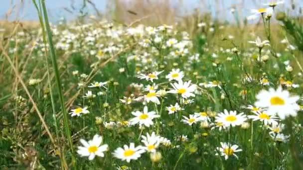 Virágzó margarémák. Oxeye Daisy, Leucanthemum vulgare, margaréták, DOX-szem, meghatározatlan százszorszép, kutya százszorszép, Hold százszorszép.