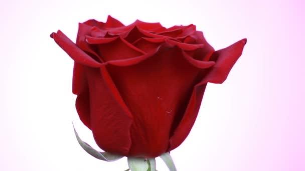 Na bílém pozadí se otáčí červená růže. Střela z makra se zvedala s okvětním.