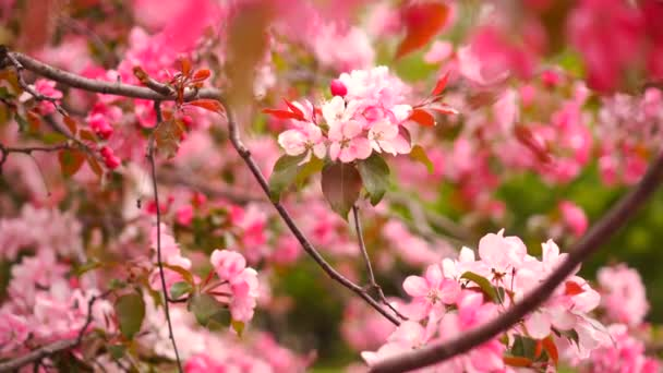 Kvetoucí strom, růžový květ sakura. Květiny Třešeň květiny