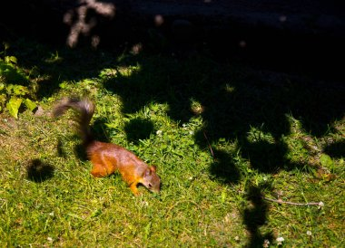 red squirrel in the park begs for nuts