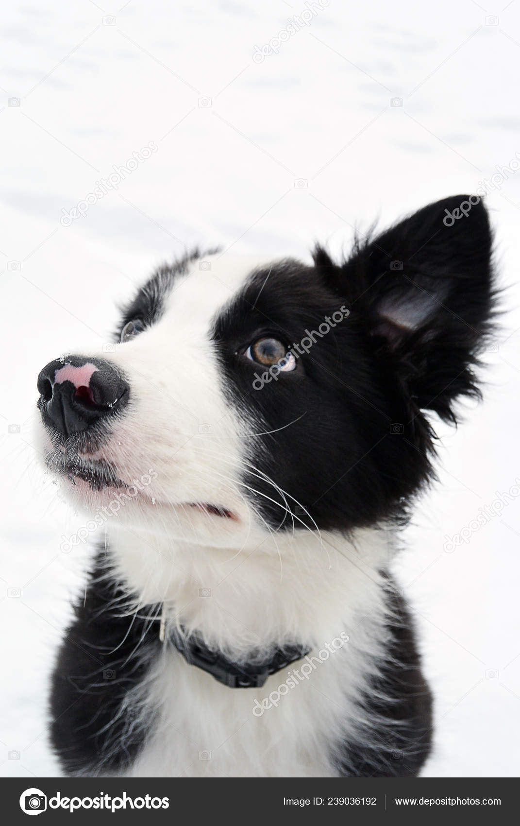Adorable Cute Blue Border Collie Puppy Watching Up Stock Photo C Annett Net Gmail Com 239036192