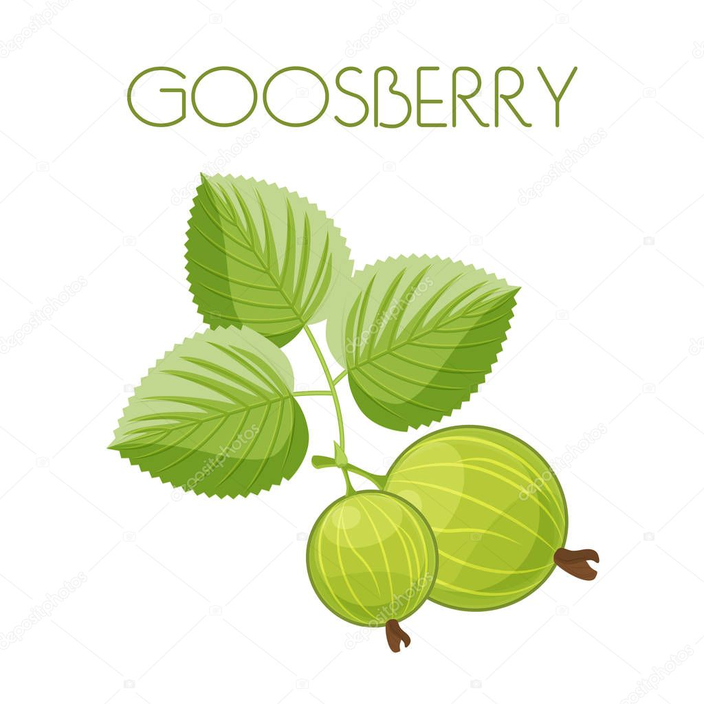 Gooseberry. Vector image on isolated background