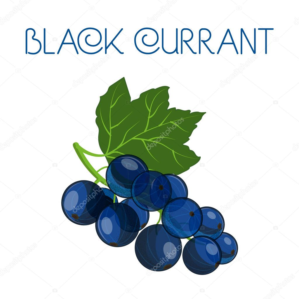 Black currant. Vector image on isolated background