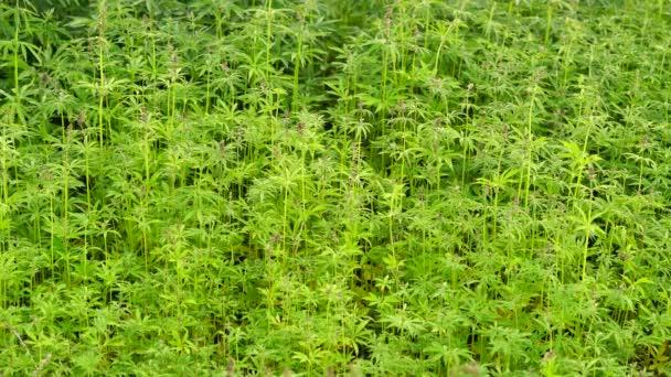 Marihuána mező. Kannabisz-termesztés.