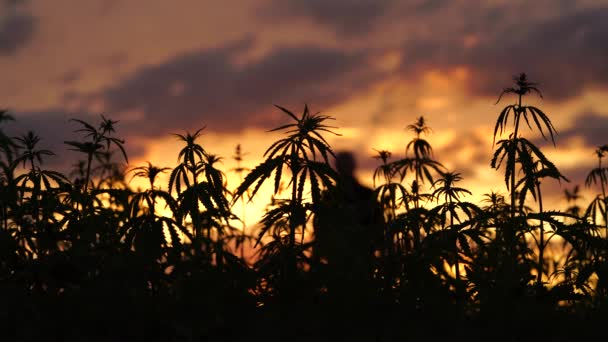 Marijuana field in the amazing sunset background.