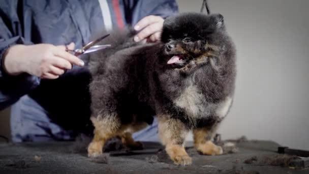 Zabawny Mały Pies Z Języka Czeka Nowa Fryzura Profesjonalny