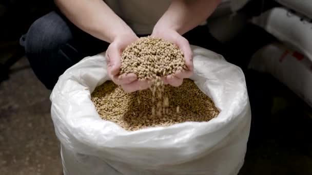 Mistr pivovar se semenem ječmene v dlaních.