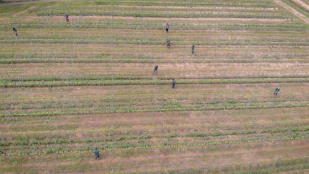 Aerial view of lots of wokers working on a vineyard plantation in summertime.