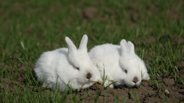 Baba fehér nyúl tavasszal zöld fű háttér
