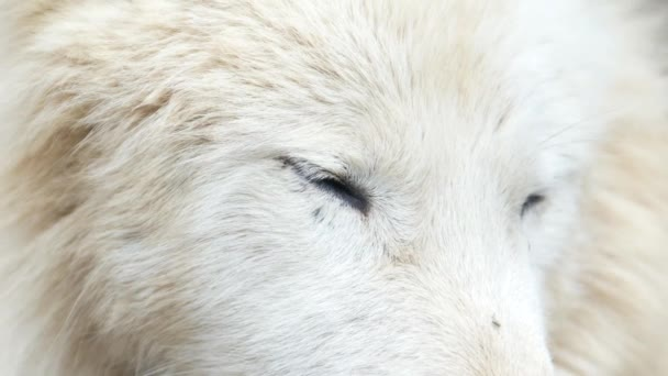 Close up of the wolfs blue eyes, white wolf