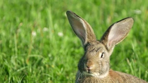 Graues Kaninchen im grünen Gras, schönes Kaninchen, große Hasenohren
