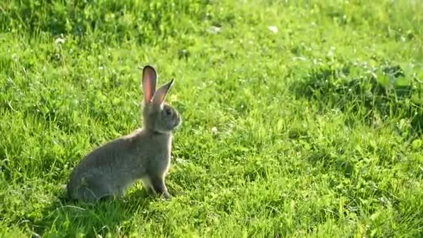 Malý šedý králík stojící na poli, divoký zajíc