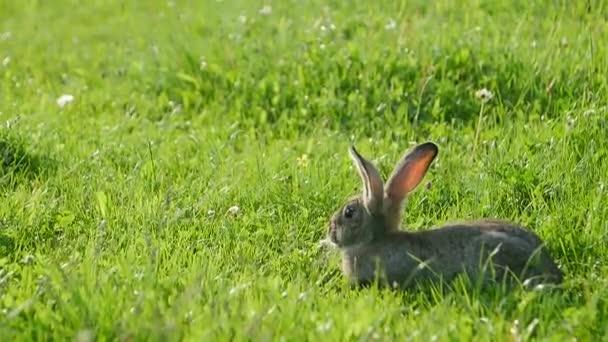 Vorsichtiges Kaninchen steht im Sommer im grünen Gras, graues Kaninchen