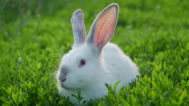Krásný bílý králík na zelené trávě, malý legrační králík na hřišti v létě