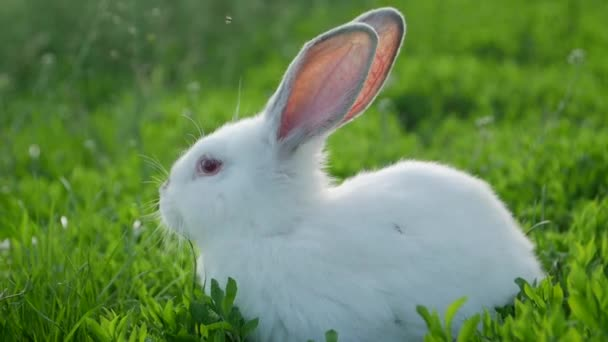 Beautiful white rabbit on green grass, little funny rabbit on the field in summer