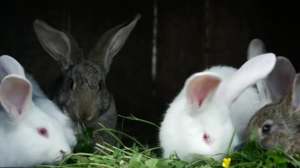Young rabbits in a hutch European Rabbit - Oryctolagus cuniculus