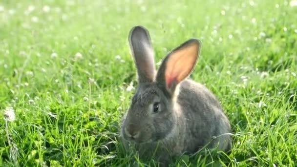 Malý králík na zelené trávě v letní den, šedý králík na zelené trávě