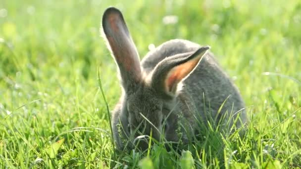 Šedý králík v zelené trávě, krásný králík, velké králičí uši