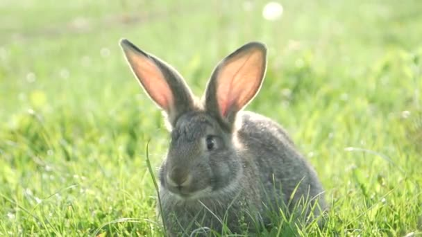 Gray rabbit on green grass, Beautiful cute rabbit on a green summer meadow. Hare walking on nature in the grass.