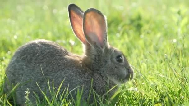 Šedý králík na zelené trávě, Krásný roztomilý králík na zelené letní louce. Zajíc kráčí po přírodě v trávě.