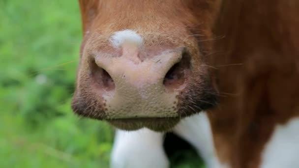 Fiatal tehén legel egy zöld réten. Rágja a füvet, közelről. Zöld háttér.
