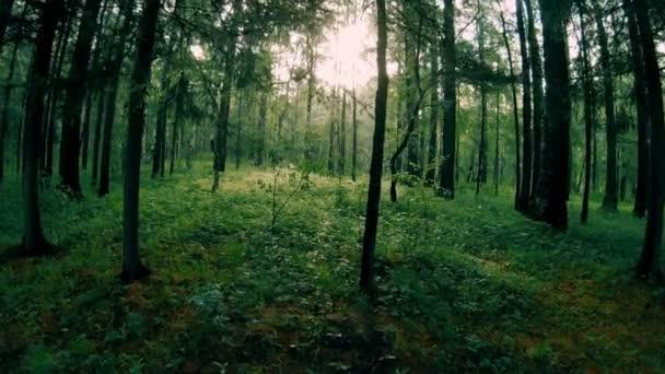 Tmavě zelená smíšený les. Pohyb kamery mezi stromy
