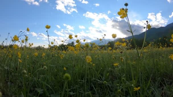 Sárga wildflowers a réten