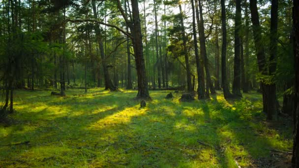 V zeleném lese. Pohyb stínů stromů. Časová prodleva