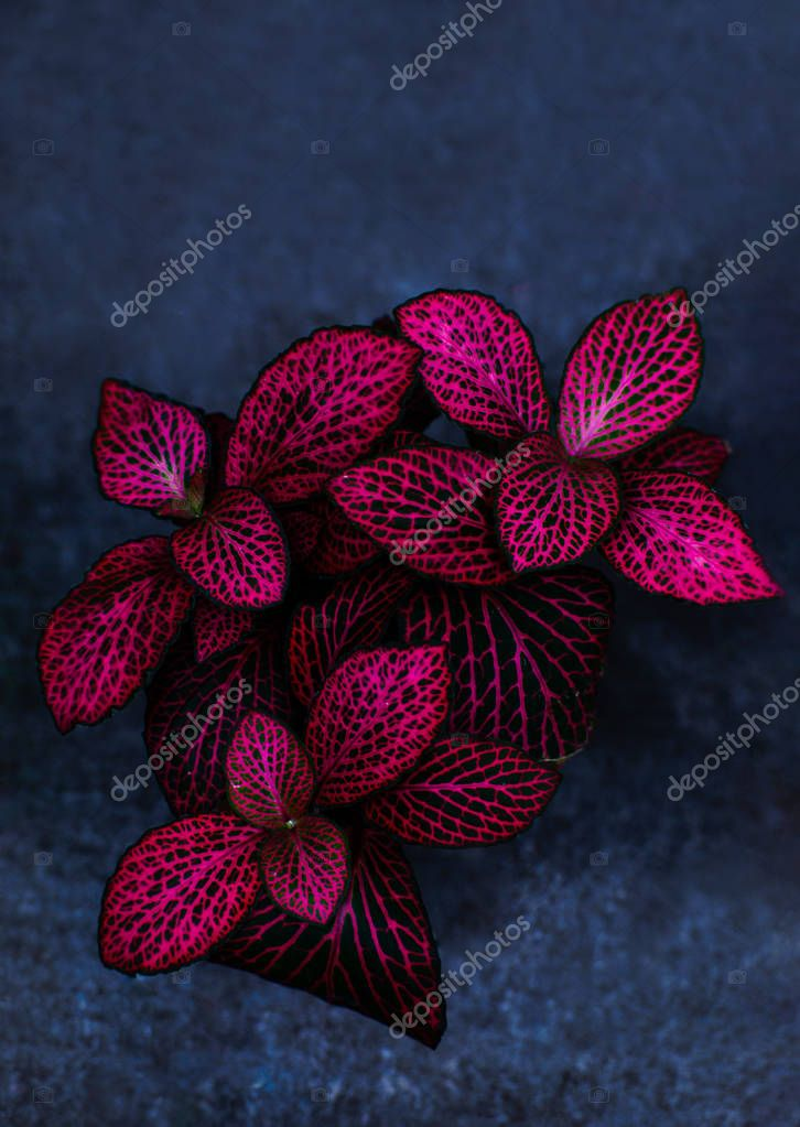 Red leaves with green nerves called Fittonia. Hypoestes phyllostachya.