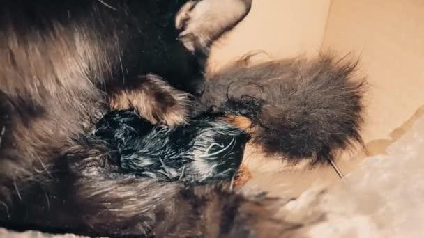 New born black baby kitten sucking milk from its mother